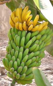 tenerife_bananen